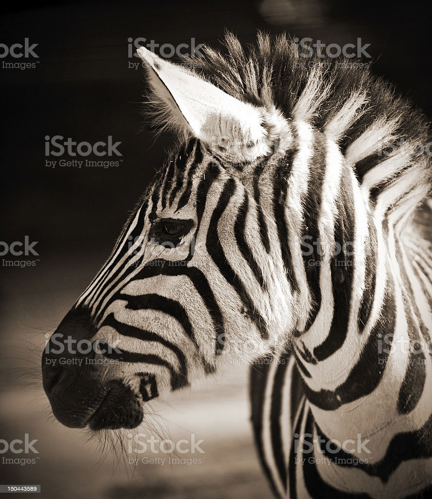 Portrait of a young zebra royalty-free stock photo