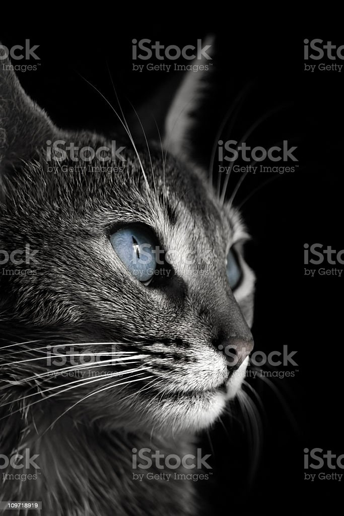 Portrait of Abyssinian cat stock photo