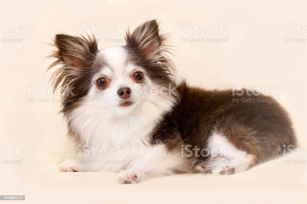Portrait of adorable long hair Chihauhua looking at camera stock photo