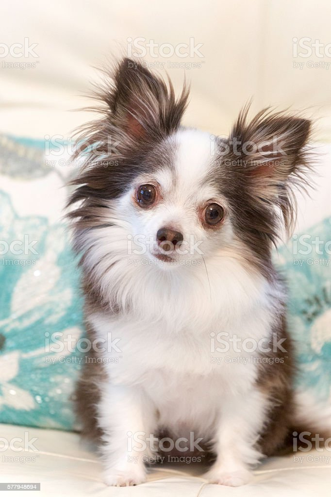 Portrait of adorable long hair Chihauhua sitting on couch stock photo