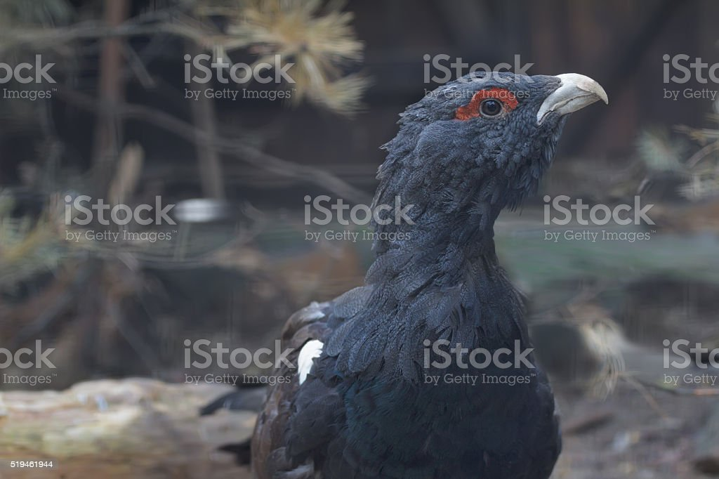 Portrait of adult cock of male western capercaillie stock photo