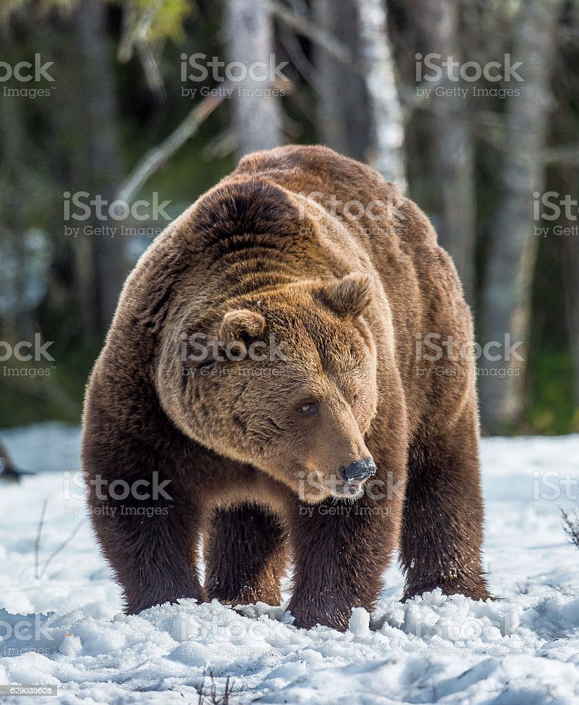 Portrait of adult male Brown Bear stock photo