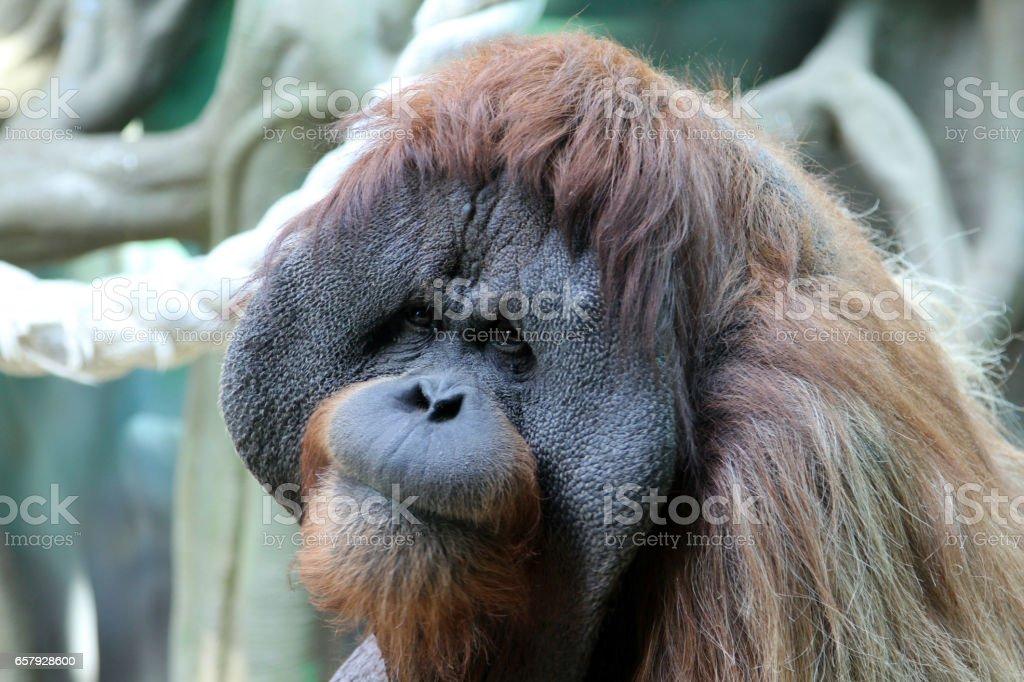 Portrait of adult male orangutan stock photo
