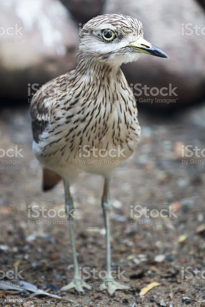 Portrait of adult stone curlew at rocky background stock photo