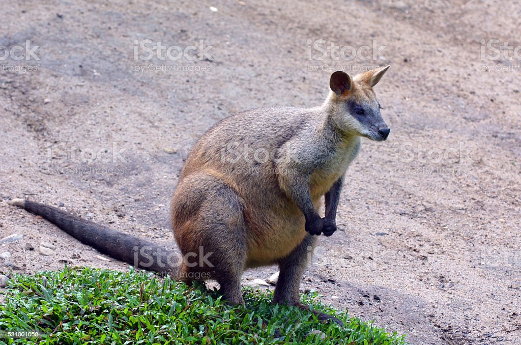 Portrait of Agile wallaby in Queensland  Australia stock photo