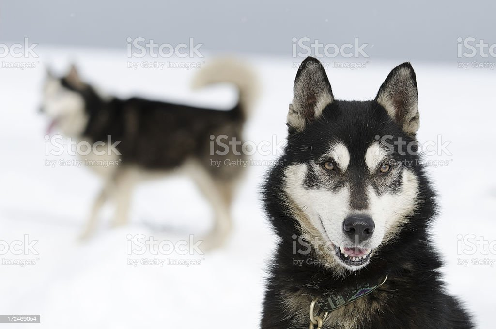 Portrait of alaska malamute sled dog royalty-free stock photo