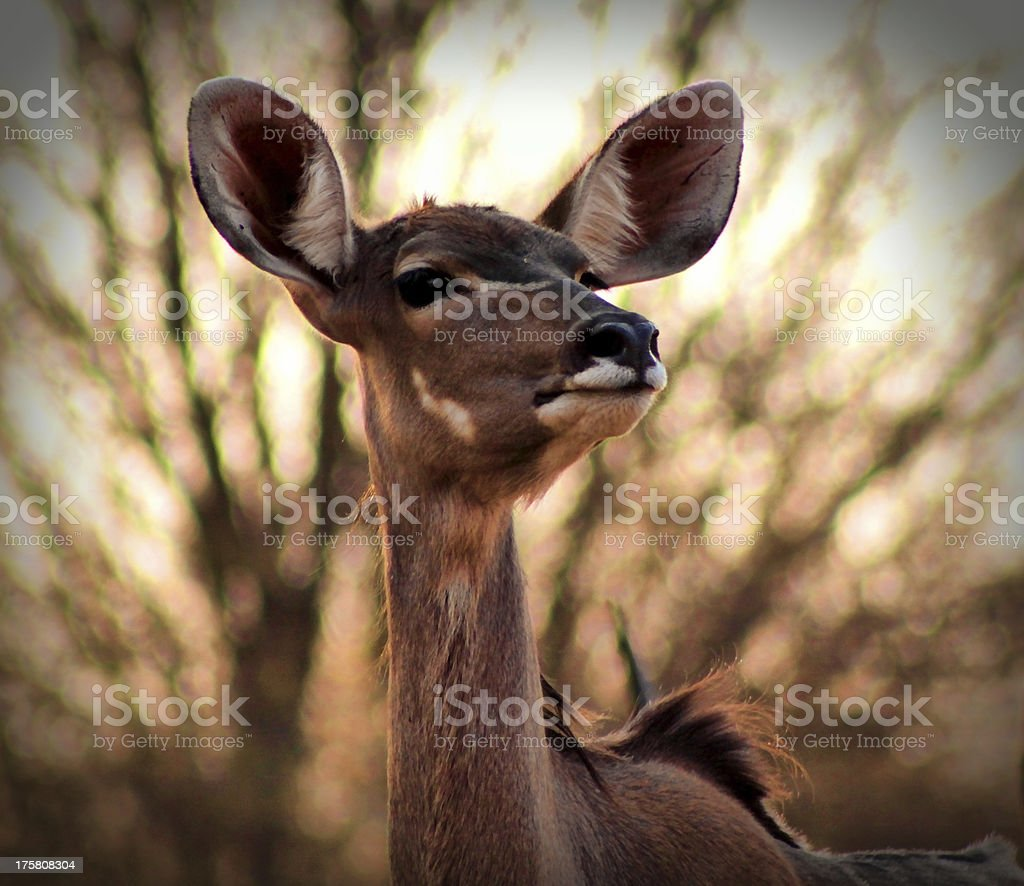 Portrait of Alert Kudu Ewe royalty-free stock photo