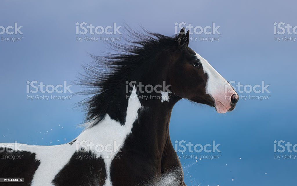 Portrait of American Paint horse on dark blue background stock photo