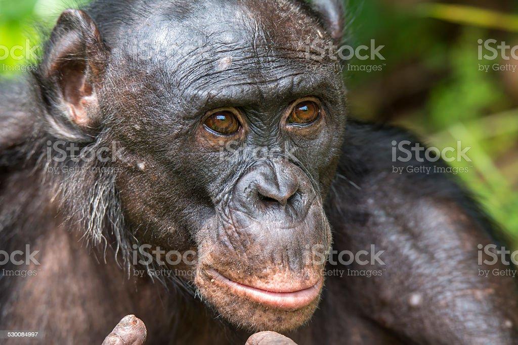 Portrait of an Adult Bonobo (Pan paniscus, Pygmy Chimpanzee) stock photo