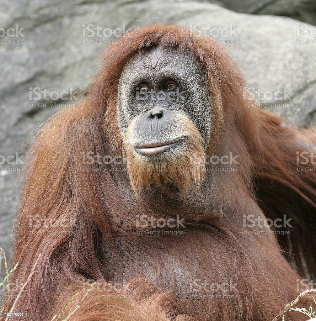 Portrait of an adult orangutan royalty-free stock photo
