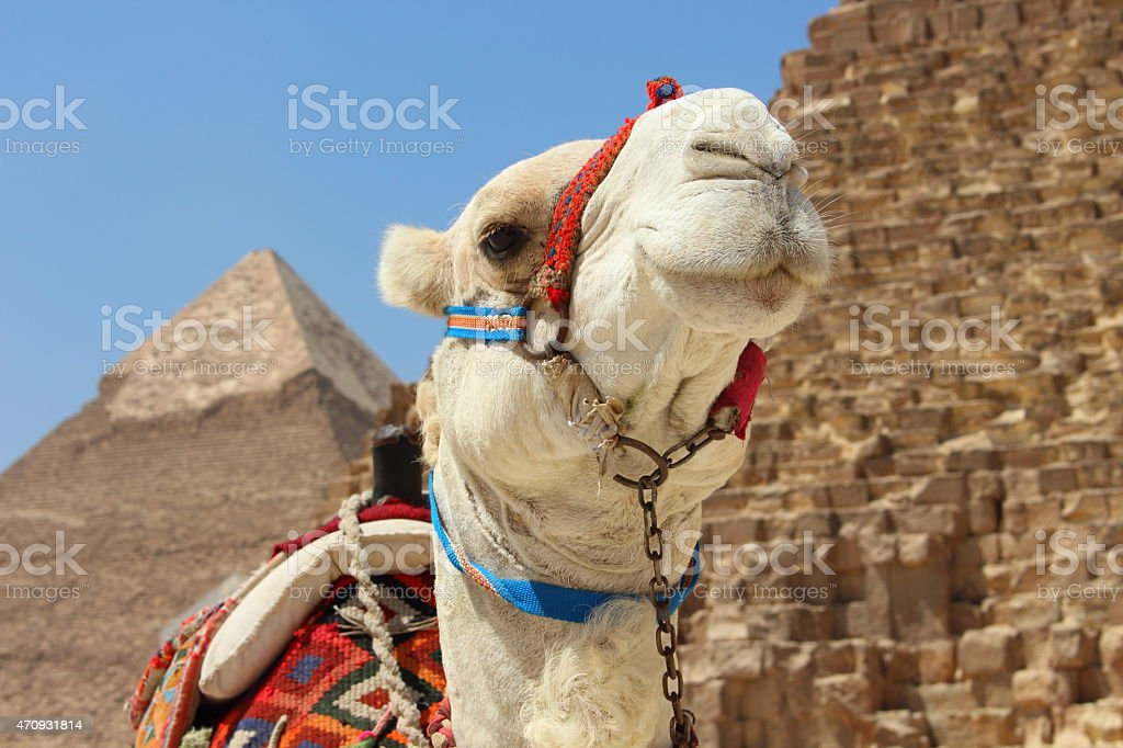 Portrait of an african camel in Giza, Cairo stock photo