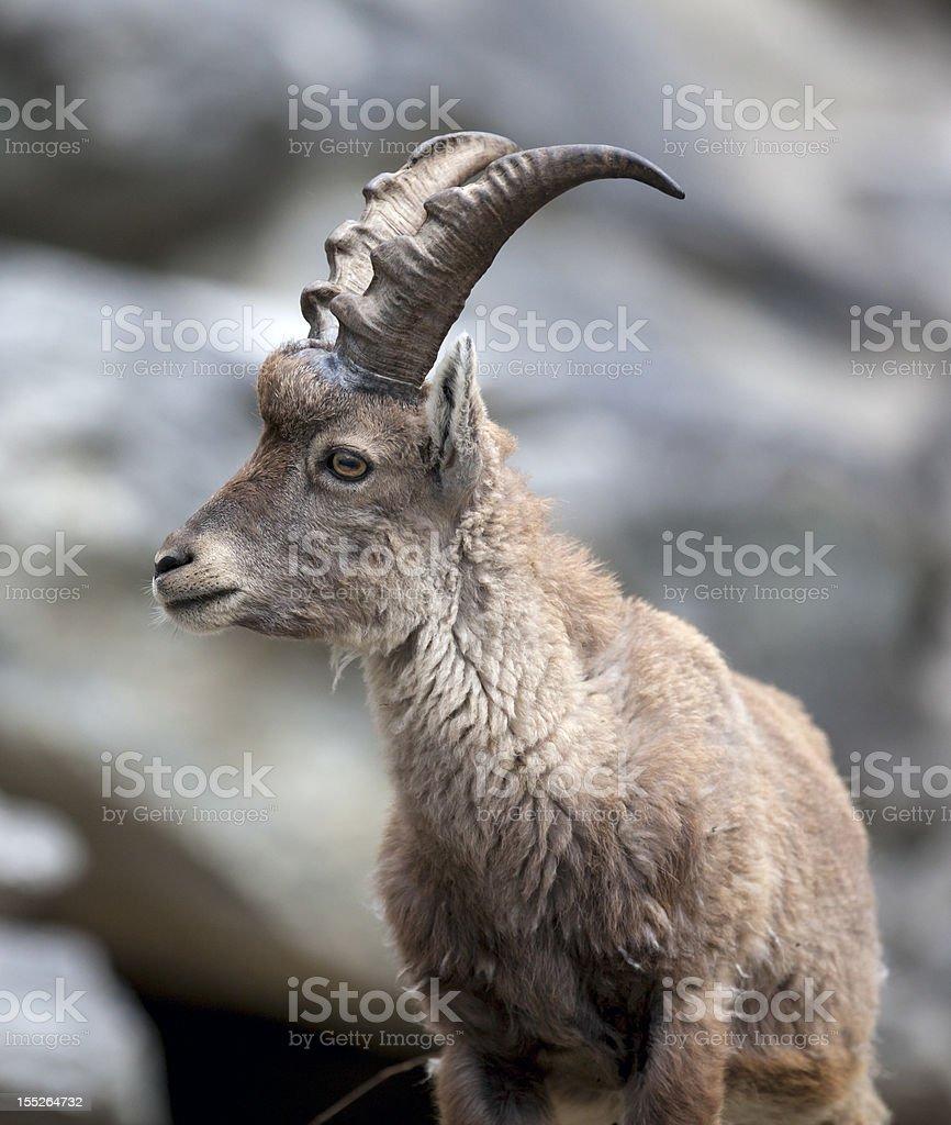 Portrait of an Alpine young Ibex (Capra ibex) stock photo