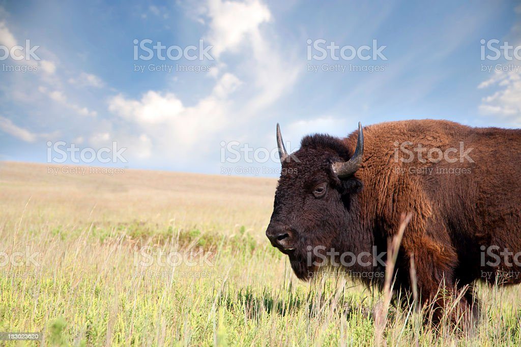 Portrait of an American Bison on the prairie royalty-free stock photo