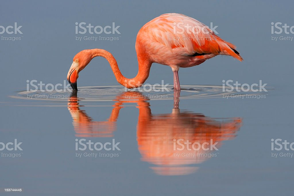 A portrait of an American flamingo drinking water stock photo