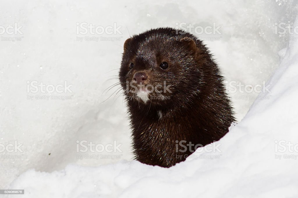Portrait of an American mink which looks stock photo