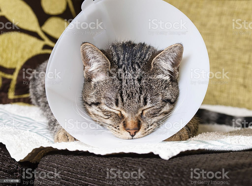 Portrait of an anesthetized cat royalty-free stock photo