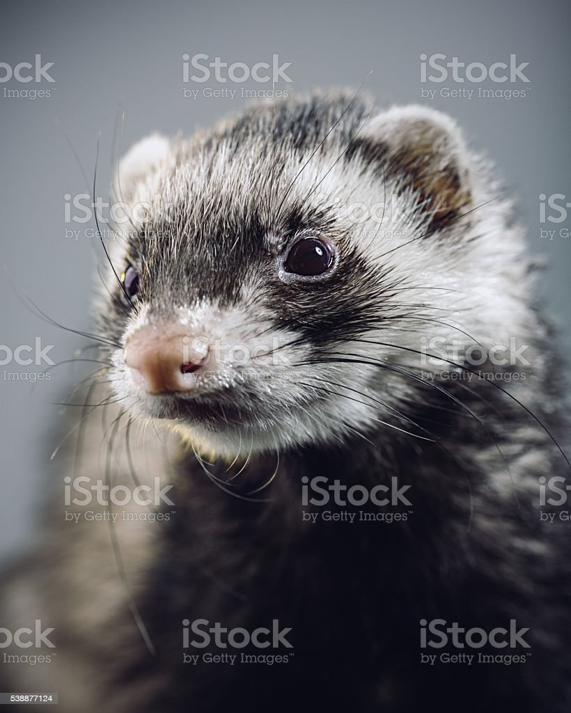 Portrait of an angry ferret looking to the camera stock photo