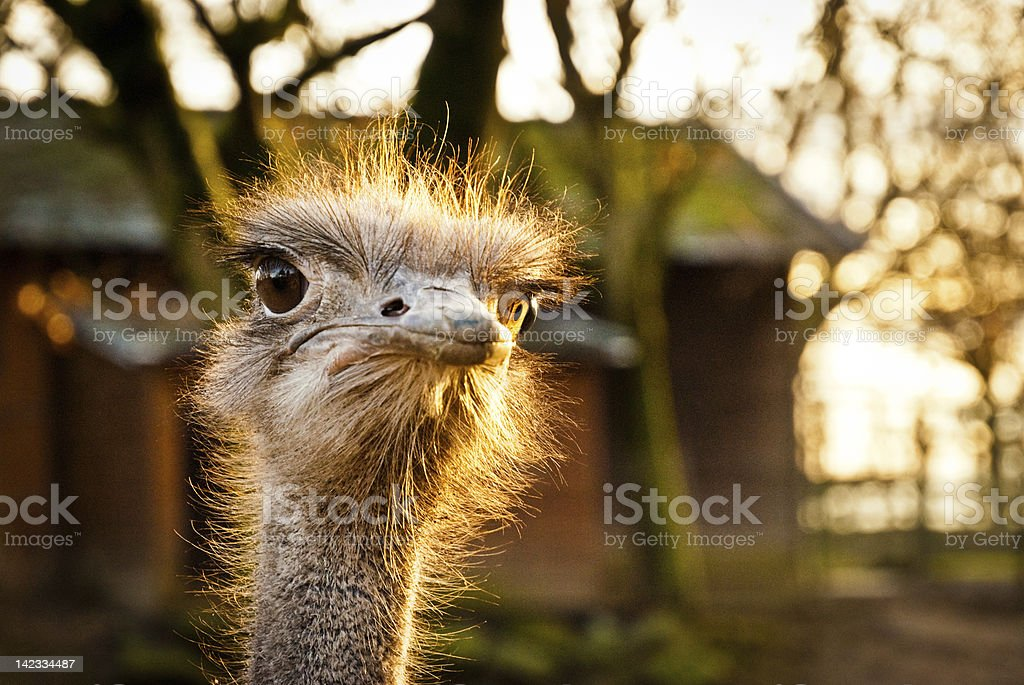 Portrait of an angry ostrich stock photo