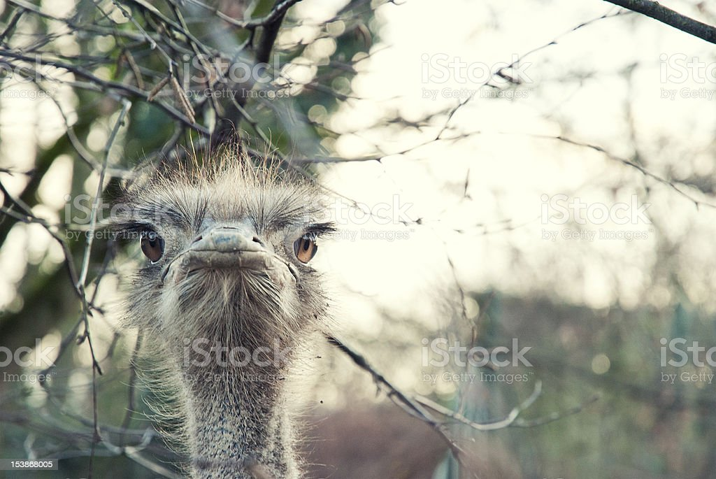 Portrait of an angry ostrich royalty-free stock photo