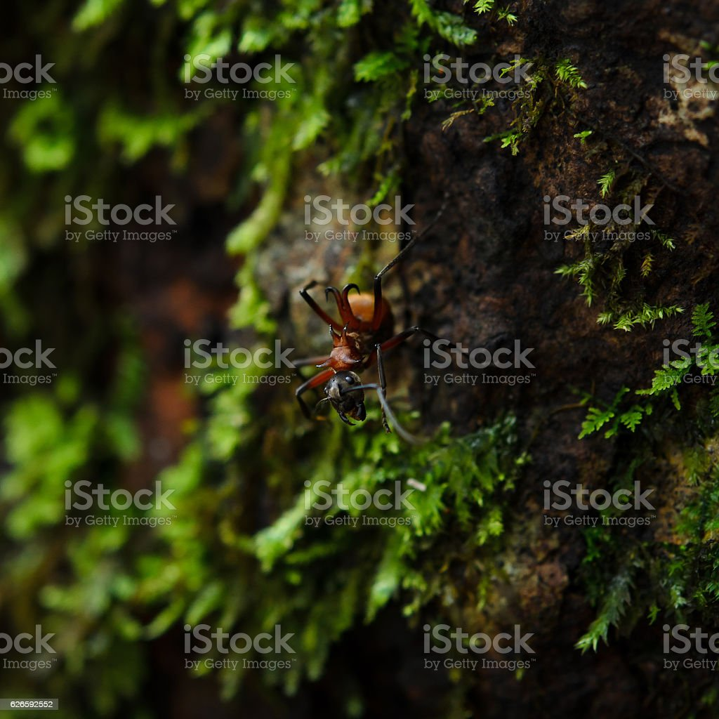Portrait of an ant. Macro. Ant red forest. Moss green stock photo