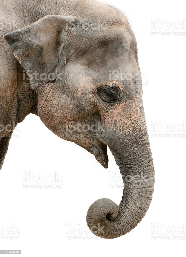 portrait of an Asian elephant stock photo