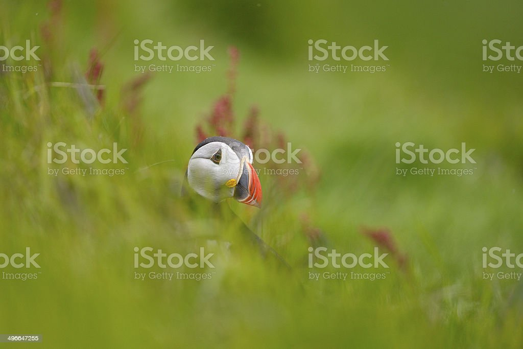 Portrait of an Atlantic Puffin royalty-free stock photo