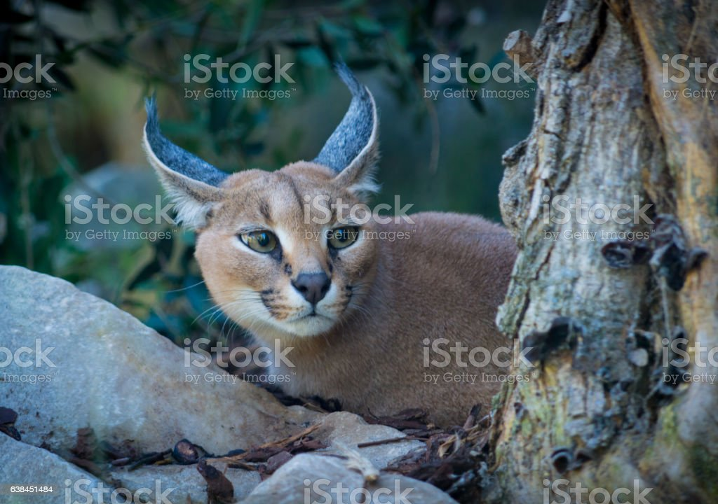 Portrait of an attentive Caracal (Caracal caracal). stock photo