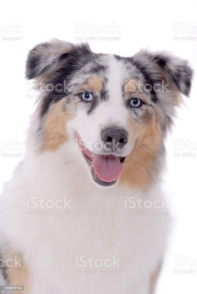 Portrait of an Australian Shepherd stock photo