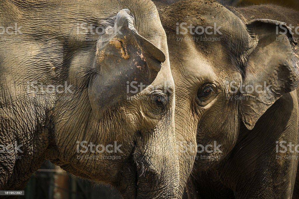 Portrait of an couple elephant royalty-free stock photo