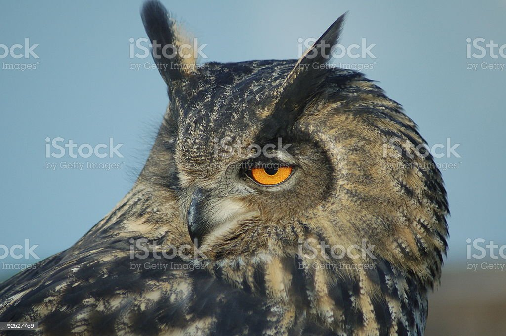 Portrait of an eagle owl royalty-free stock photo
