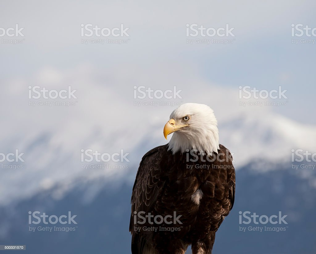 Portrait of an Eagle stock photo