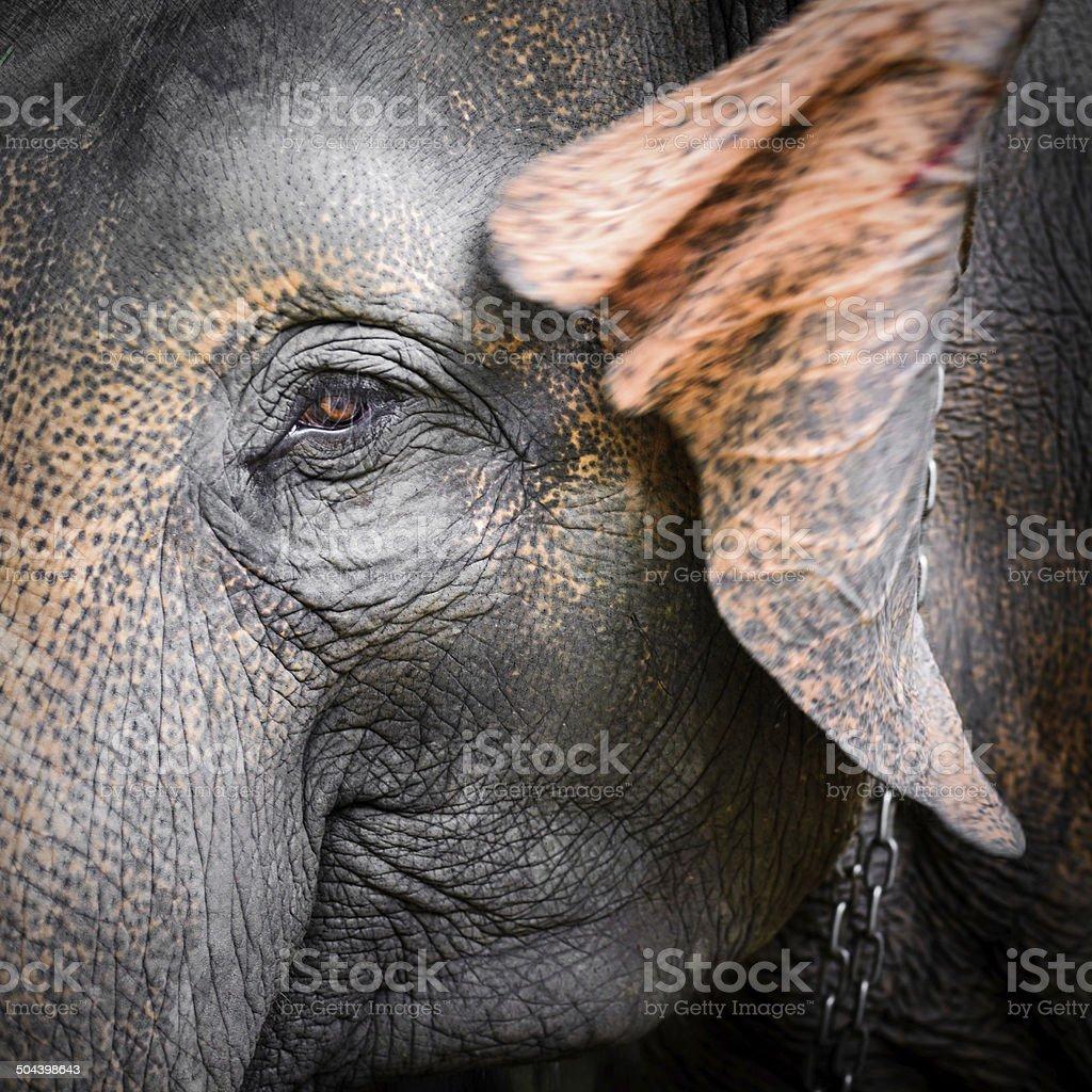 portrait of an elephant royalty-free stock photo