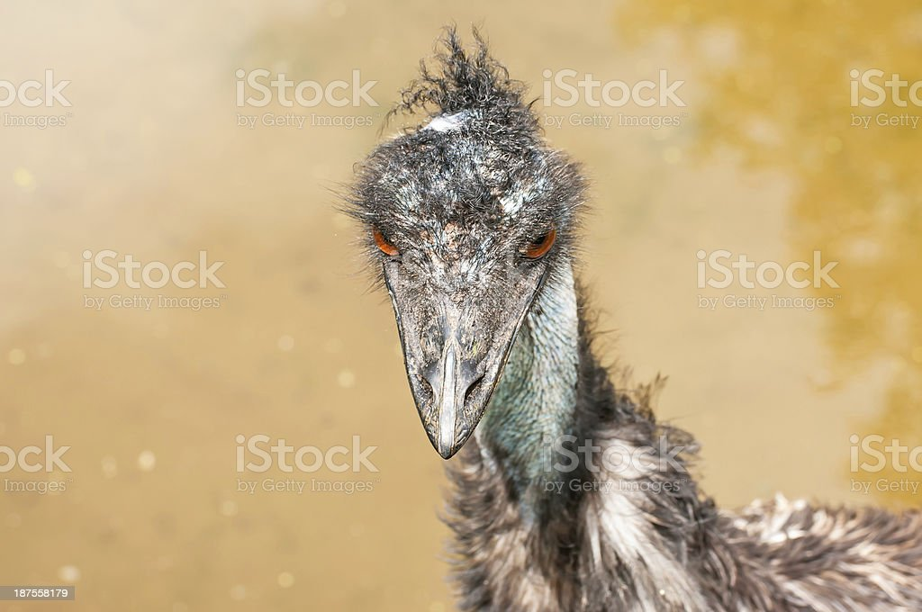 Portrait of an Emu royalty-free stock photo
