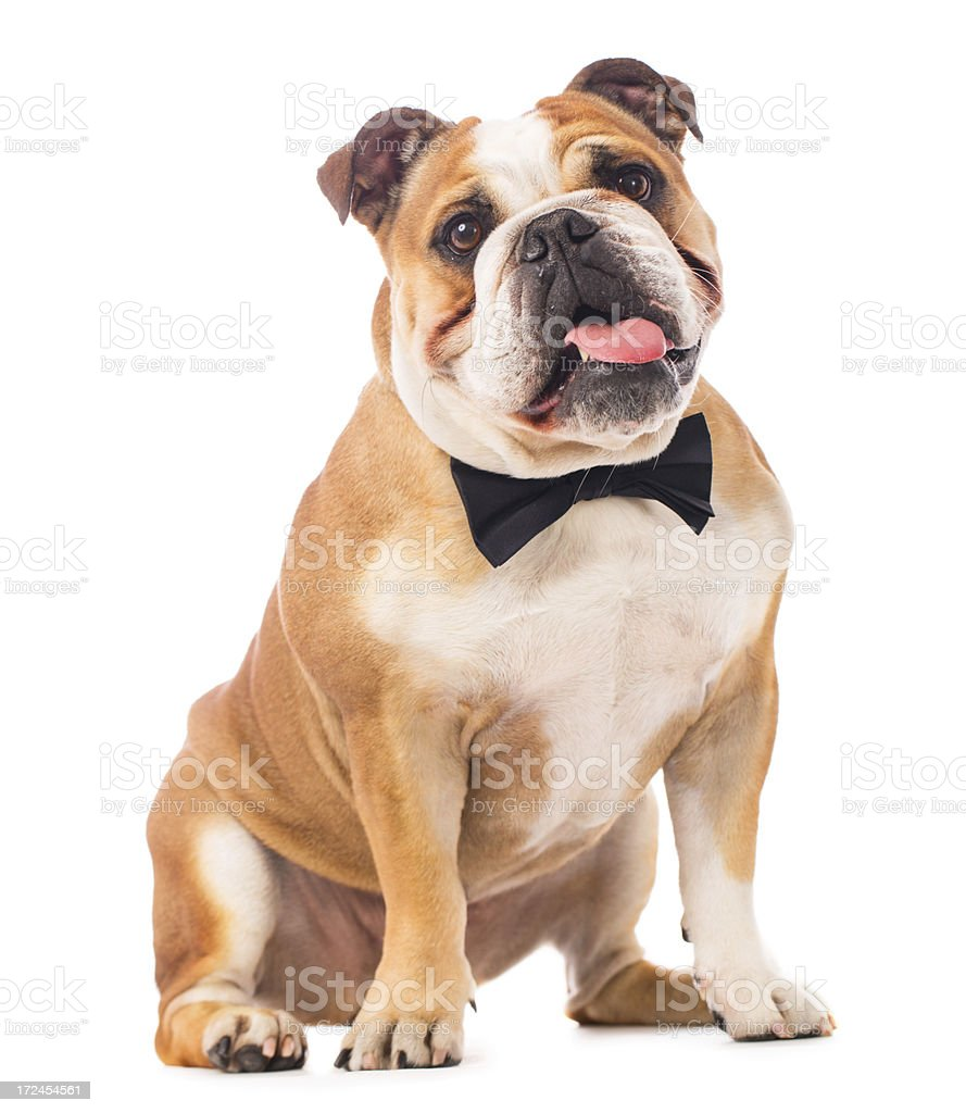 Portrait of an English Bulldog royalty-free stock photo