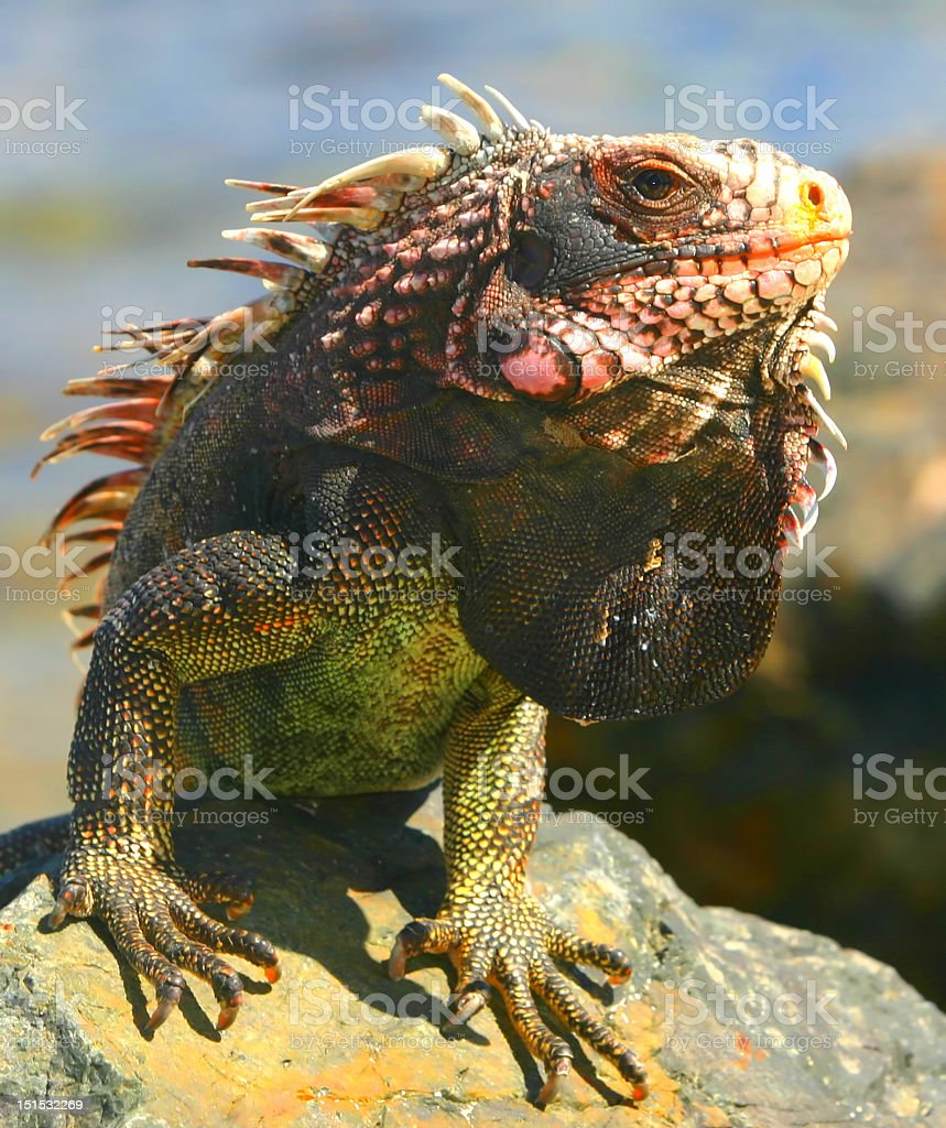 A portrait of an iguana on a rock stock photo