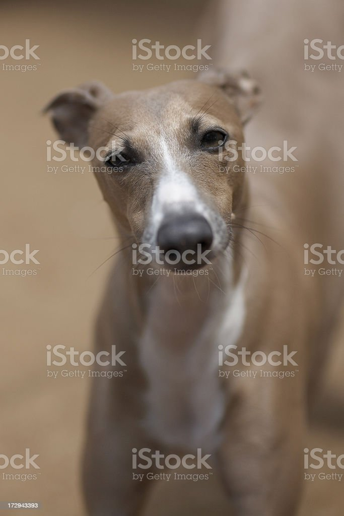 Portrait of an italian greyhound stock photo