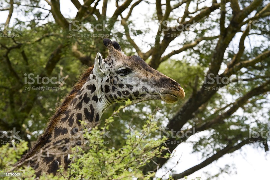 Portrait of an Masai-Giraffe, Wildlife-Shot stock photo