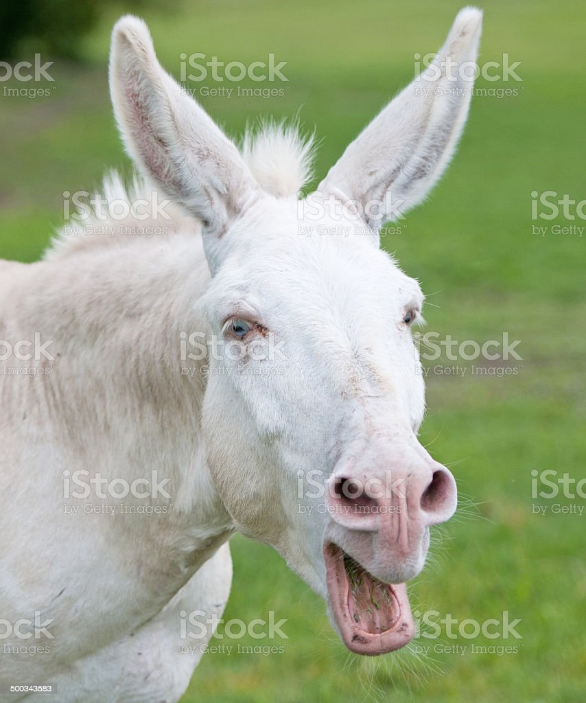 portrait of an obstinate white donkey on the pasture stock photo