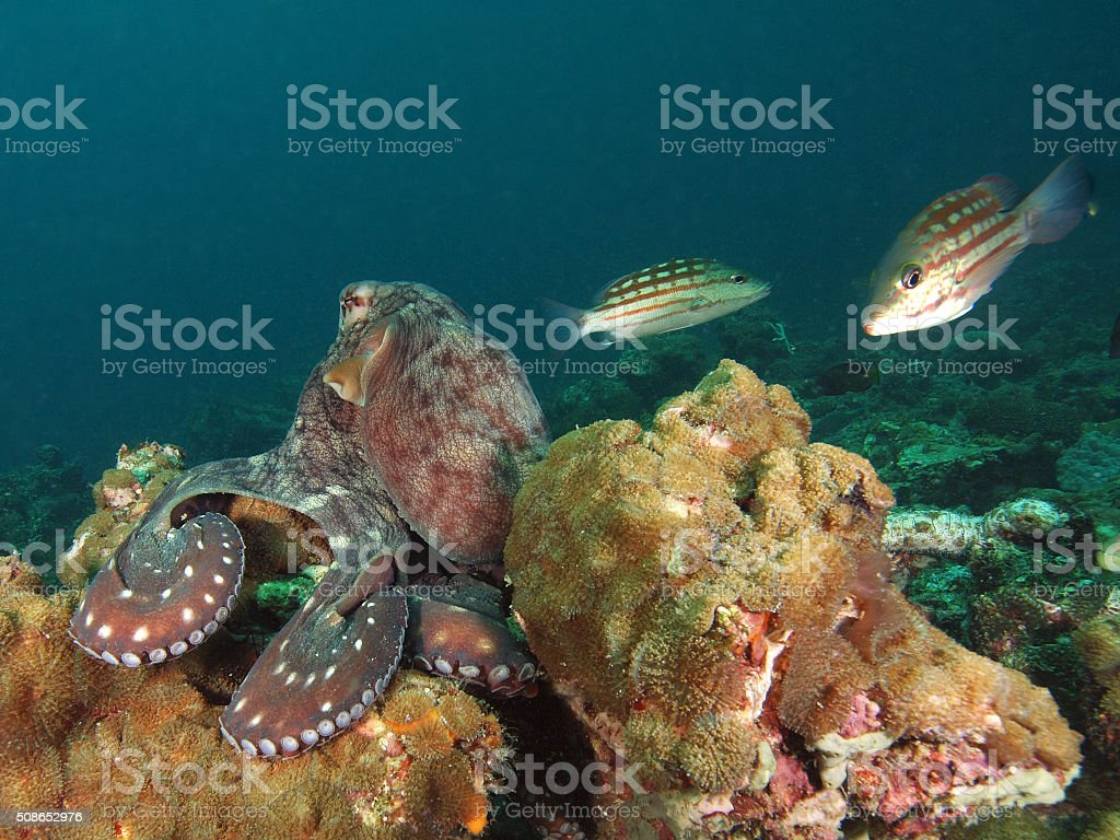 Portrait of an octopus sitting on the reef stock photo