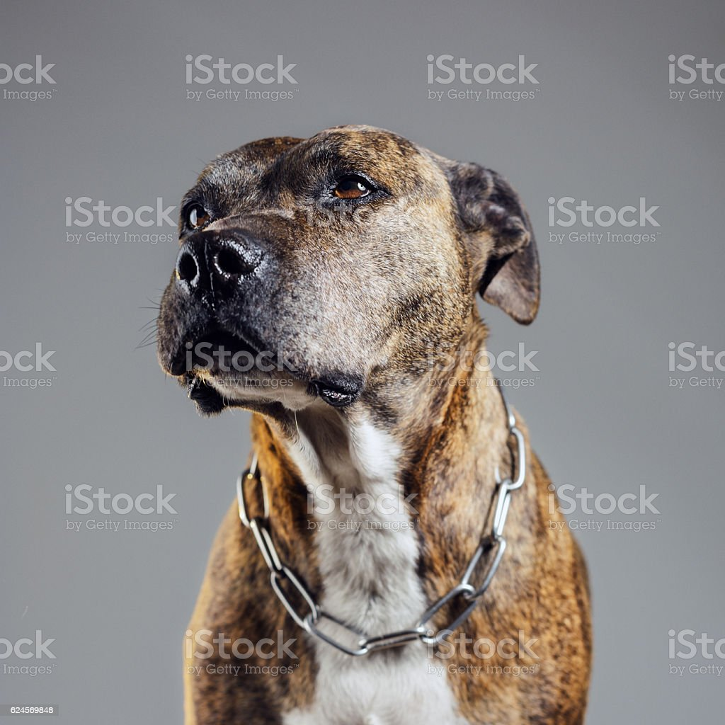 Portrait of an old pitbull dog stock photo