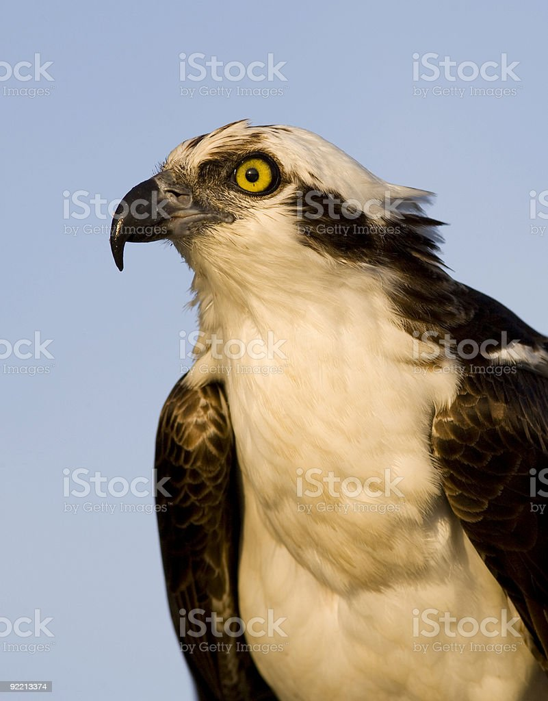 Portrait of an Osprey stock photo