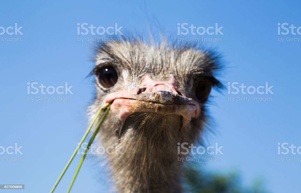 Portrait of an ostrich in sunny day stock photo
