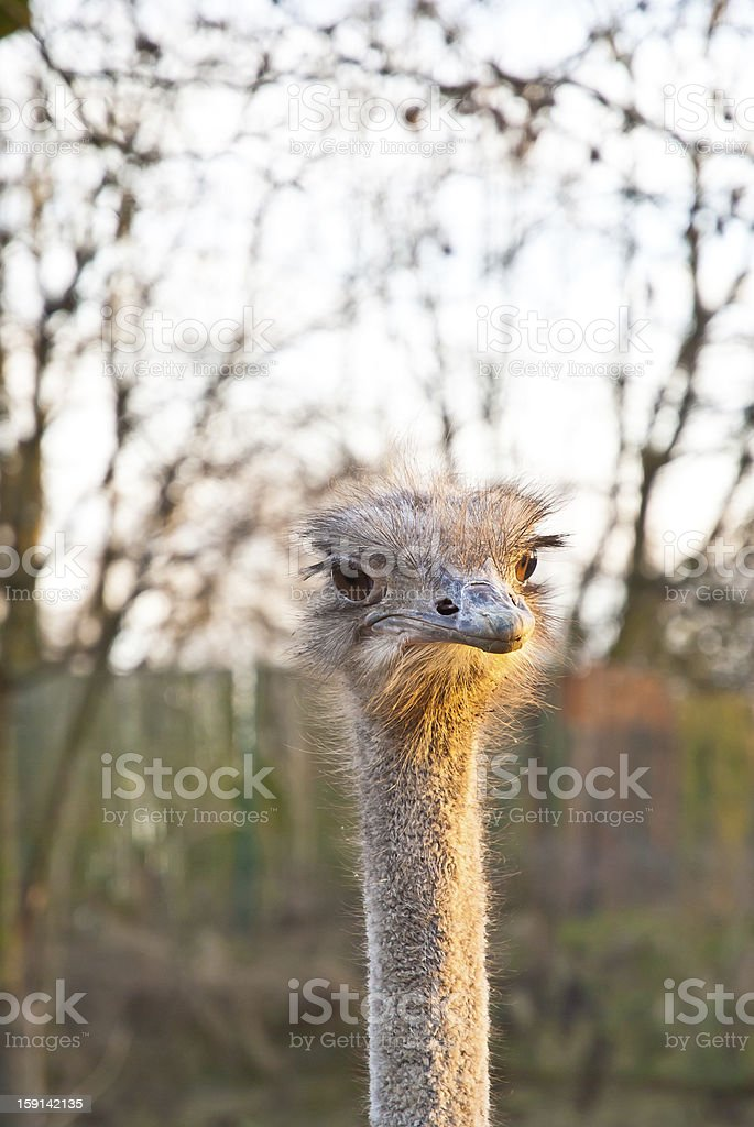 Portrait of an ostrich royalty-free stock photo
