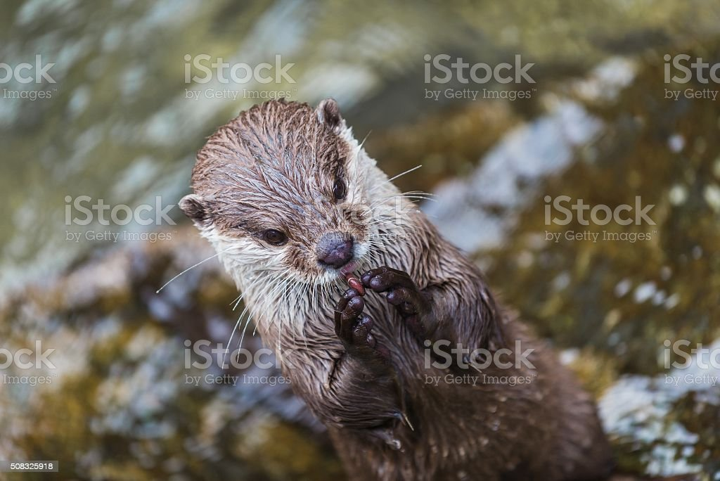 portrait of an otter stock photo