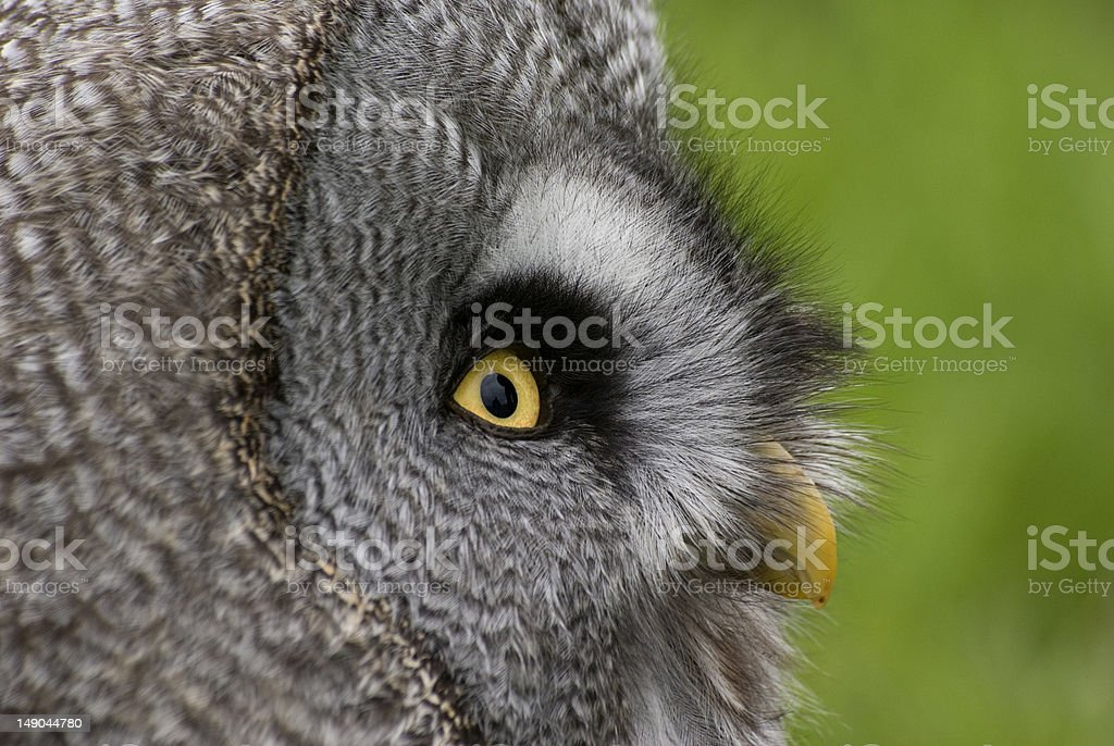 Portrait of an owl royalty-free stock photo