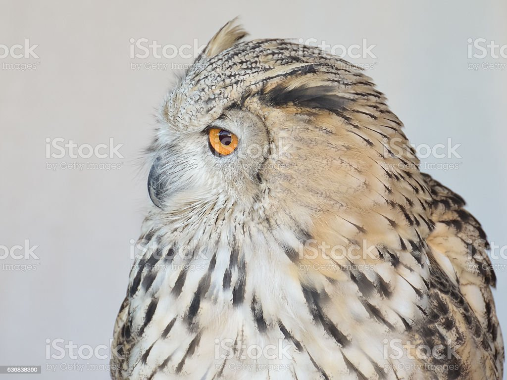 Portrait of an owul stock photo