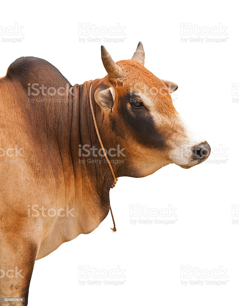 Portrait of an ox stock photo