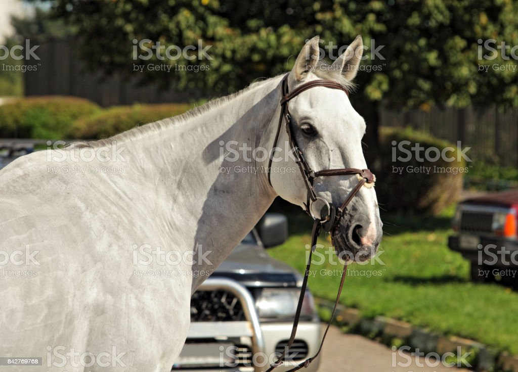 Portrait of Andalusian white horse stock photo