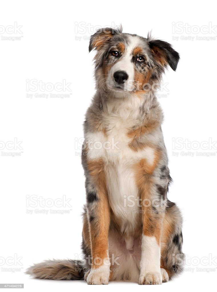 Portrait of Australian Shepherd, 5 and a half months old stock photo