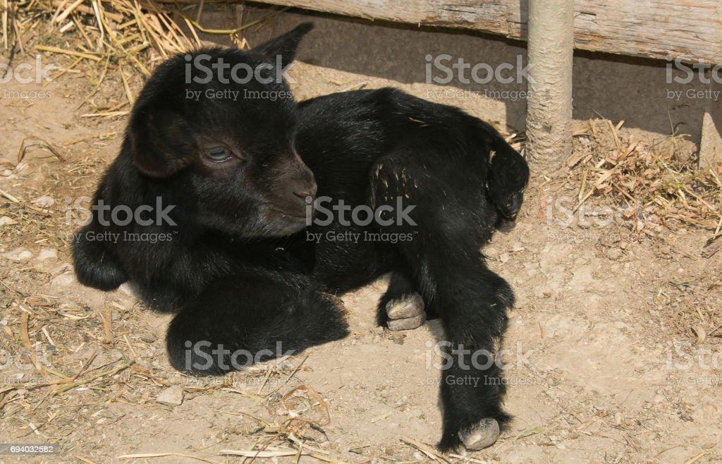 Portrait of baby dwarf goat stock photo